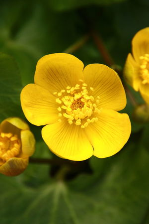 Beauty In Nature Blooming Close-up Day Flower Flower Head Fragility Freshness Growth Macro Marsh Marigold Nature No People Outdoors Petal Plant Pollen Yellow EyeEmNewHere