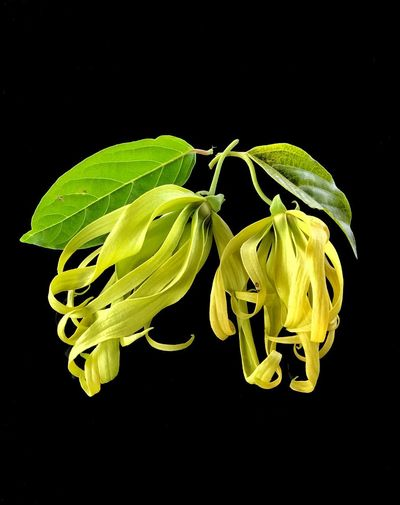 Cananga odorata flowers Yellow Flower Ylangylang Cananga Odorata Black Background Studio Shot Freshness Green Color No People Growth Yellow Close-up Flower Plant Leaf Petal Flower Head Nature Beauty In Nature Fragility Day