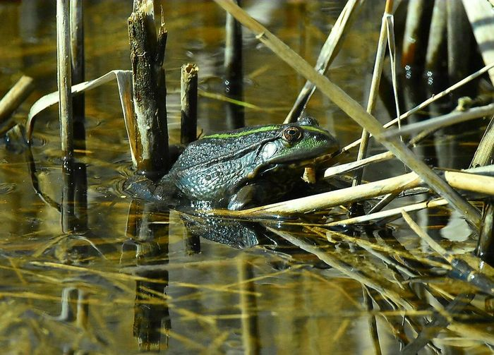 marsh frog One Animal Animal Themes Animals In The Wild Water Outdoors Animal Wildlife No People Nature Wildlife Photography Springtime Frog Amphibian Reflection Marshland  Wildanimal Close-up NikonD5500 Sigma150-600c Sigma 1.4teleconverter Nikon_photography Sigma Lens