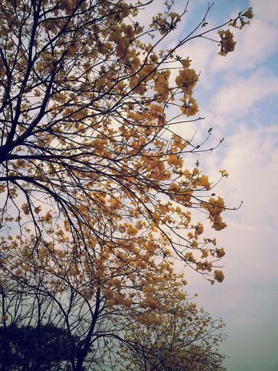 高雄 Walking Around Taking Photos 黃色風鈴木,浪漫中... Enjoying The Sun Walking Around Riverside Park