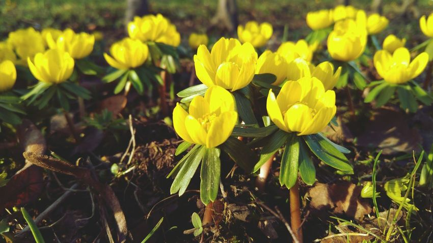 Yellow Flower Nature Beauty In Nature Growth Plant Outdoors Freshness Close-up Green Color Fragility No People Flower Head Day Field Spring Springtime First Spring Flower First Signs Of Spring Winter Aconite