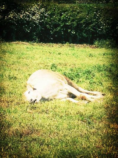 Cow Sleeping
