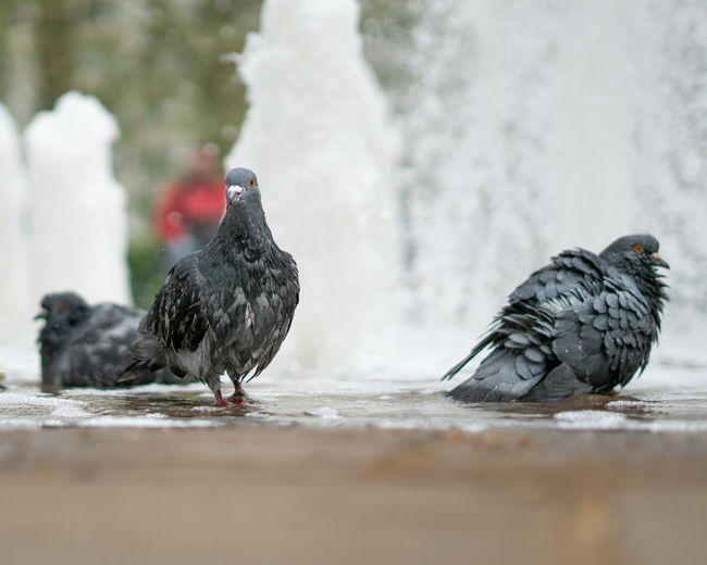 Close-up of pigeons perching