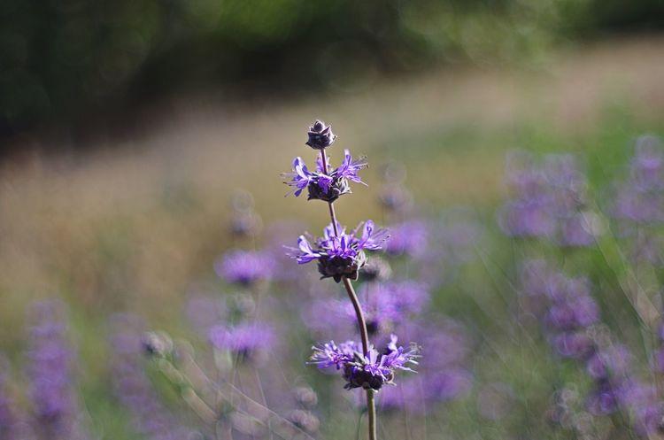 Sage in Bloom Sage Flowers Bokeh Bokeh Photography Super Takumar Nature On Your Doorstep Nature Landscape Kit Carson Park