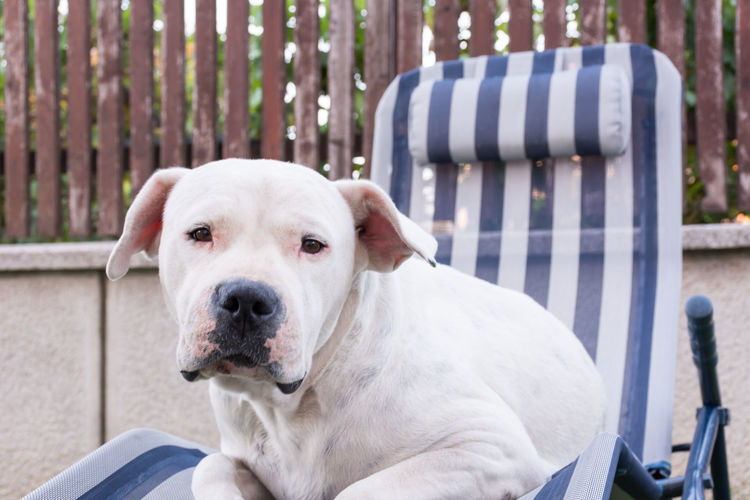 Dogo Argentino also known as the Argentine Mastiff resting in the deck chair, hard life Argentine Mastiff DogLove Dogs Dogs Of EyeEm Animal Animal Themes Animals Argentina Argentine Argentine Dog Argentine Dogs Dog Dog Life Dog Love Doglover Dogo Argentino Dogoftheday Dogslife Dogstagram Dog❤