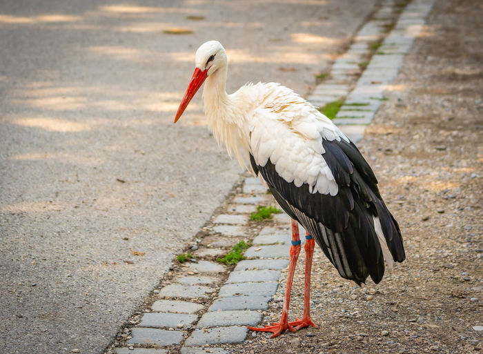 A stork portrait Bird Animal Themes Vertebrate Animal One Animal Animals In The Wild Animal Wildlife Day No People Nature Outdoors Beak Focus On Foreground Side View Full Length Stork Footpath Close-up Perching Feather