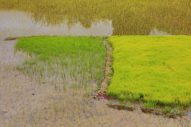 Agriculture Food And Drink Green Green Color Growth Rice Africa Agricultural Land Biological Cornfield Flooded Fields Food Highlands In The Mud Madagascar  Rice Field Rice Fields And Water Rice Plant Rice Terraces