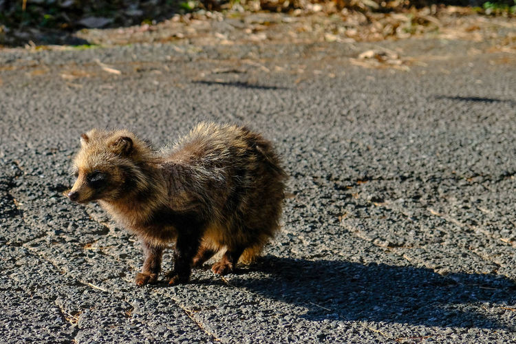 Side view of an animal walking on road