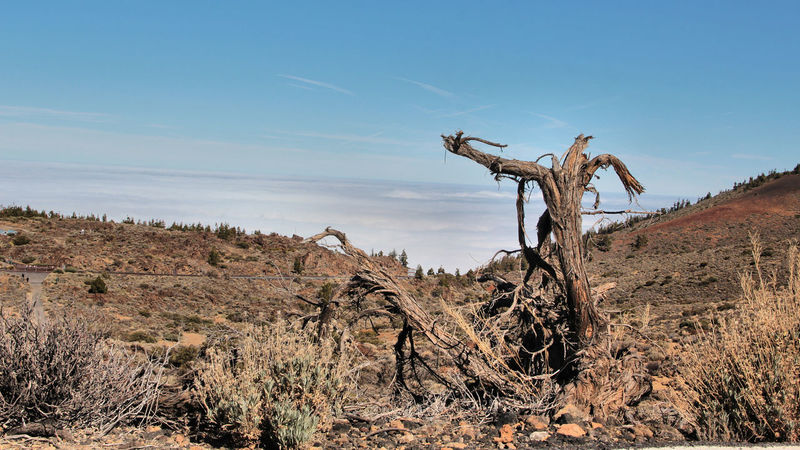 Arid Climate Bare Tree Beauty In Nature Day Dead Plant Dead Tree Dryness Field Landscape Nature No People Outdoors Panoramic Photography Scenics Sky Teide National Park Tenerife Tranquility Tree