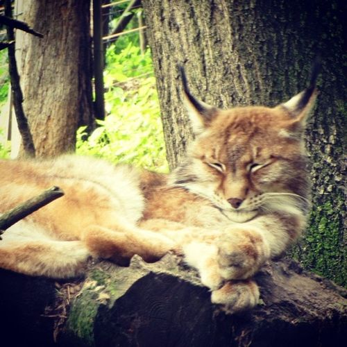 Nature park in Bad Schandau Lynx Lince Bigcat Badschandau Germany Deutschland