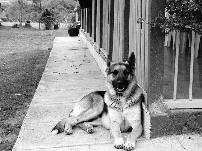 Beautiful walker. Dog Love Cute Pets Nature Bestanimal Germanshepherd Friend