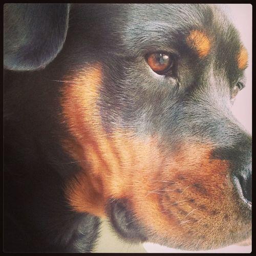 Dream big! Diesel , my (parttime) dog Rottweiler Dogs Ilovemydog