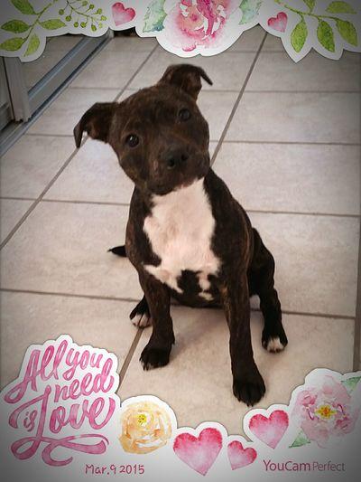 My baby 💜 Mybabydog Lookatthatface MyPrettyPrincess Ilovemydog Cute Pets Can't Live Without Mydogiscoolerthanyourkids Staffordshire Bull Terrier Staffylove