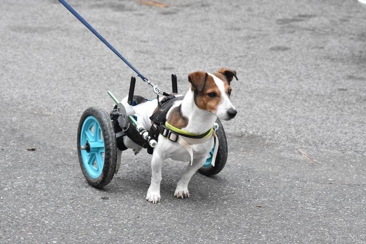 Dog with wheelchair on road