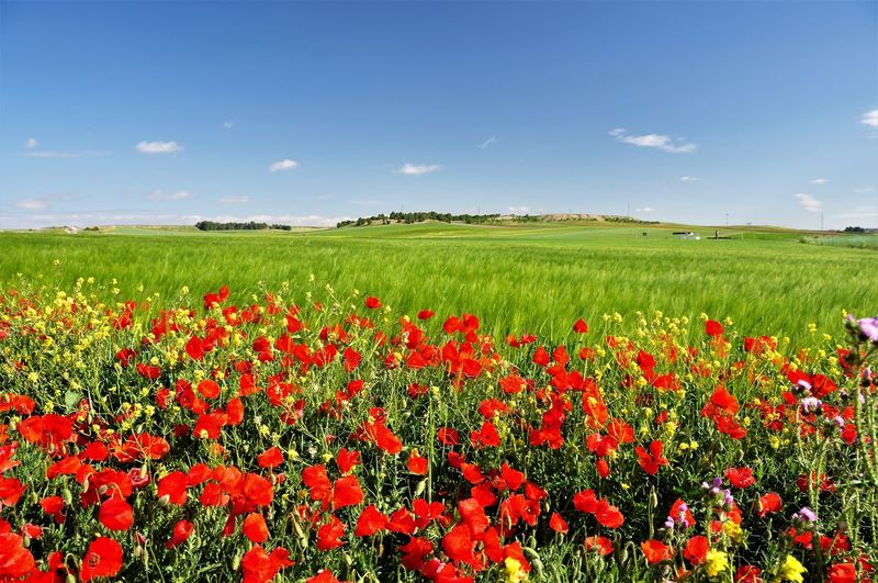 Scenic View Of Red Poppy Field Against Sky