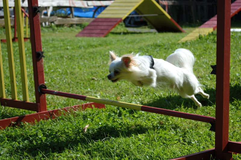 Agility Dog Animal Themes Chihuahua Chihuahua Agility Chihuahua Jump Grass Jump Outdoors White