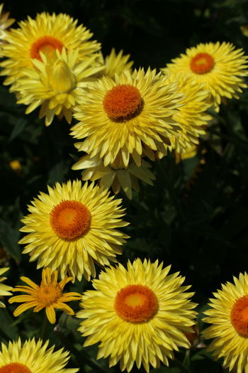 Yellow Flowers Yellow Strawflowers Strawflower Or Everlasting Flower Yellow And Orange Flowers Flower Head Flower Biology Yellow Close-up Plant In Bloom Blossom Blooming Plant Life