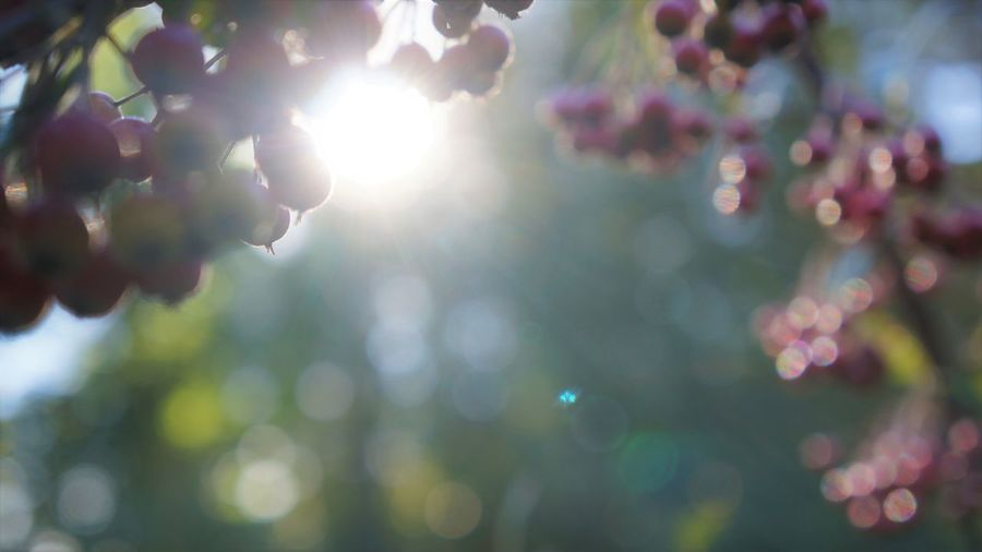 Aronia Berries Copy Space Beauty In Nature Blossom Branch Cherry Tree Close-up Day Flower Flower Head Flowering Plant Focus On Foreground Fragility Freshness Growth Lens Flare Nature No People Outdoors Plant Purple Selective Focus Spring Sunlight Tree Vulnerability