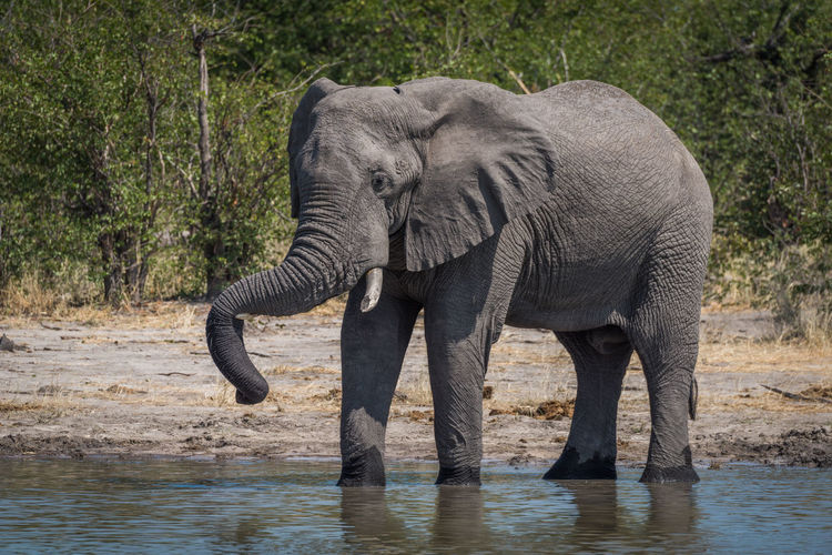 Profile view of african elephant standing at waterhole