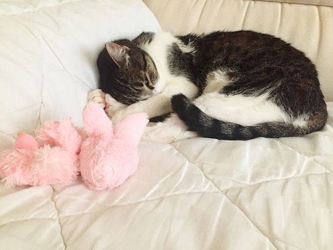 Relaxing Domestic Cat Arabian Mau  Cats Cat Domestic Pets Domestic Animals Animal Themes Animal No People Sleeping One Animal