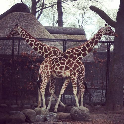 В датском зоопарке встретил Тянитолкая Дания копенгаген жираф зоопарк denmark copenhagen