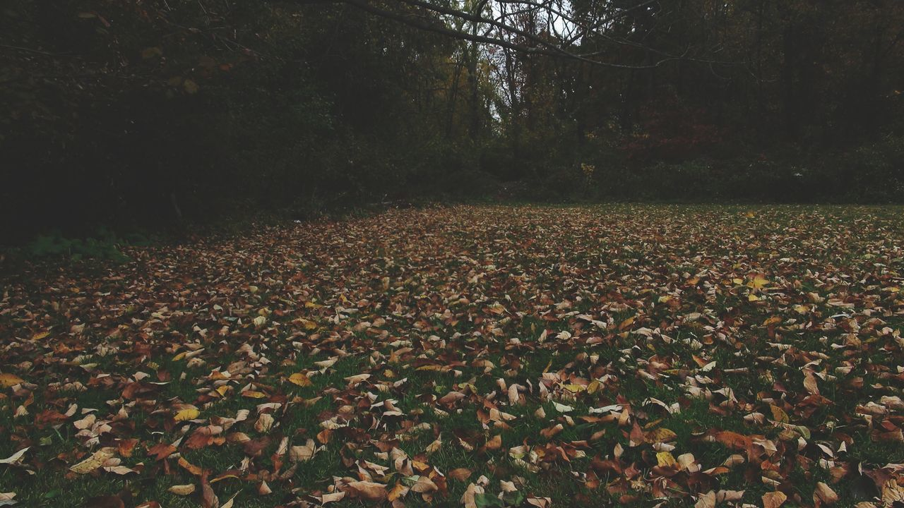 nature, autumn, tranquility, leaf, beauty in nature, tree, growth, change, scenics, tranquil scene, outdoors, forest, landscape, day, no people