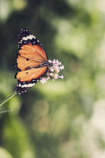 Butterfly. Beauty In Nature Bokeh Bokeh Photography Butterfly Canon Canonphotography Close-up Eye4photography  EyeEm EyeEm Best Shots EyeEm Best Shots - Nature EyeEm Gallery EyeEm Nature Lover EyeEmBestPics Flower Focus On Foreground Insect Nature Wildlife The Great Outdoors - 2016 EyeEm Awards