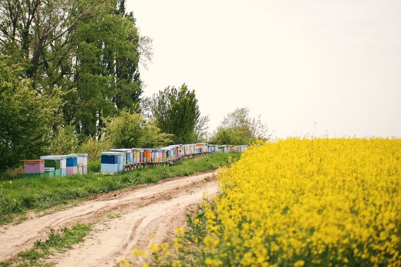 Bee hives 🐝 Beauty In Nature Colorful Bee Hive Hives Bees Bee 🐝 Honey Bees  Tree Nature Yellow Clear Sky Field Landscape Rural Scene Plant Flower Sky Outdoors VSCO Made In Romania Stup My Favorite Photo Details Of My Life Colza The Great Outdoors - 2017 EyeEm Awards The Great Outdoors - 2017 EyeEm Awards Place Of Heart