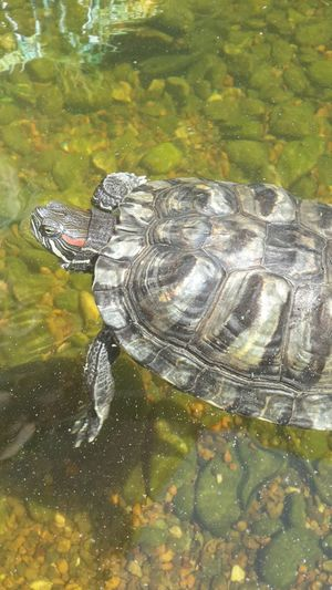 черепаха рептилия вода Swimming Sea Life UnderSea Alligator Reflection Turtle Close-up