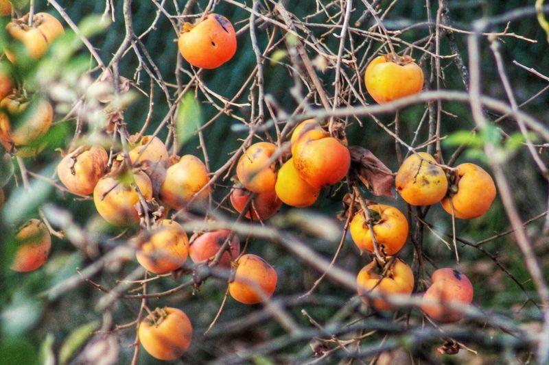 Cachi Persimmon Kaki Fruit Persimmontree Autumn Tree Emeye Nature Sweet Fruit Frutto Food Albero Colori Della Natura Autumn Colors Italy Colors