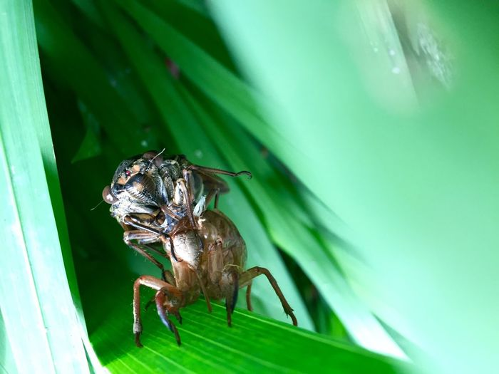 Close-up of cicada coming out from shell