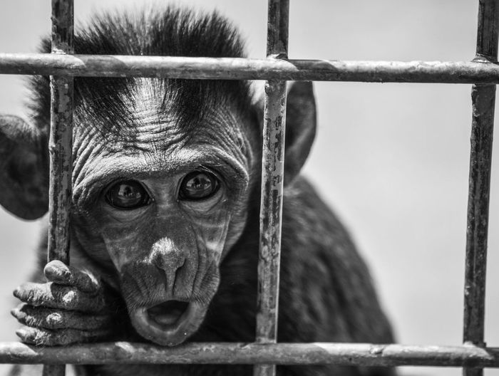 Portrait Of Infant Monkey In Cage At Zoo