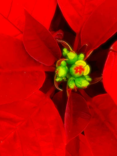 Festive Season Flower Plant Flowers Flowers,Plants & Garden Red Flowers Floral Seasonal Christmas Spirit Christmas Colors Red And Green Red Leaves Mood Decor Vibrant Holiday Cheer Sentiment EyeEm Nature Lover Macro EyeEm Best Shots - Nature Macro Beauty
