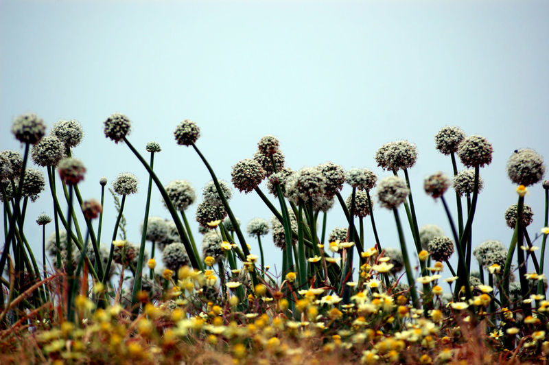 Low Angle View Beauty In Nature Blue Clear Sky Copy Space Day Field Flower Flower Head Flowering Plant Fragility Freshness Growth Land Nature No People Outdoors Plant Sky Sunlight Tranquility Vulnerability  White Yellow