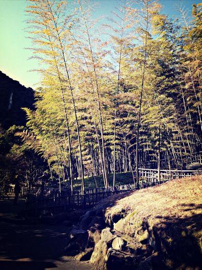 竹ーたけたけ Bamboo Beautiful Japan