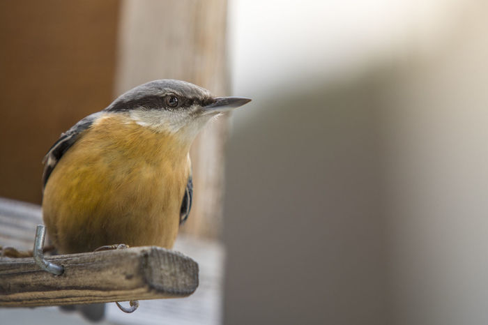I was just waiting there for a perfect shot :3 Amazing Nature Animal Animal Head  Animal Themes Bird Birds Birds_collection Canoncz Close-up Day Feeding  Looking At Camera Nature Nature Photography Nature_collection Naturelovers Naturephotography No People Nuthatch Posing Selective Focus Sharp Small Small Birds Waiting