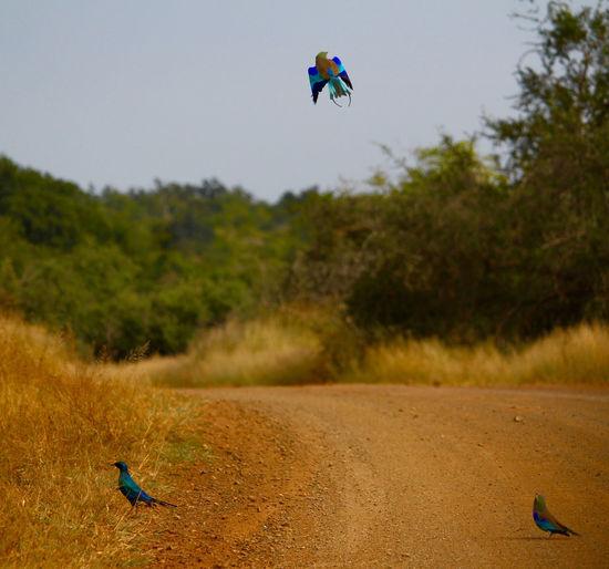 Flying Africa Animals In The Wild Bird Bird Photography Birds Birds Of Africa Coracias Caudatus Kruger Park Krugernationalpark Lamprotornis Nature Starling Starling Bird The Great Outdoors - 2017 EyeEm Awards Wildlife & Nature Wildlifephotography