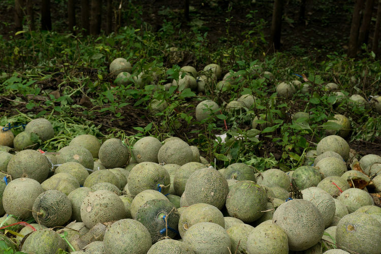 Destroy melon yields that are not quality. Melons No Quality Fail Growth Nature No People Outdoors Plant
