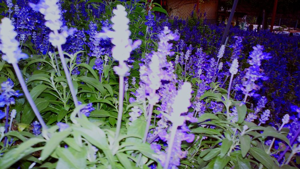 Lavender Purple Flower Growth Plant Beauty In Nature No People Outdoors Nature Close-up Flower Head Freshness Day Flash On Dark Backgrund Garden Highland temperate in tropical