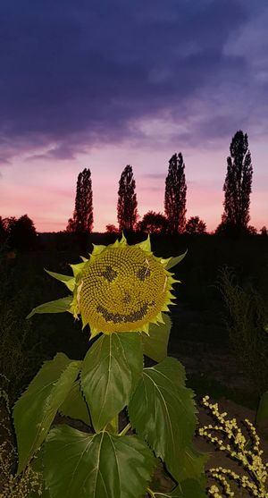 Jackobstal Smile❤ Smiley Face Smile Nature Cute Follow Famous Smile Is The Best Way To Live  Backgrounds Background Landscape_Collection Landscape Photography Landscape Nature Photography [ Nature Nature Photography Jackobstal 🇨🇭 Bülach Samsung Galaxy S8+ Sunset Sunlight Sunset_collection Nature Photography Nature_collection Natural Beauty Pappel Tree Pappeln Sunflower🌻 Sunflower Photography Tree Flower Head Agriculture Plant Landscape Sunflower Single Flower