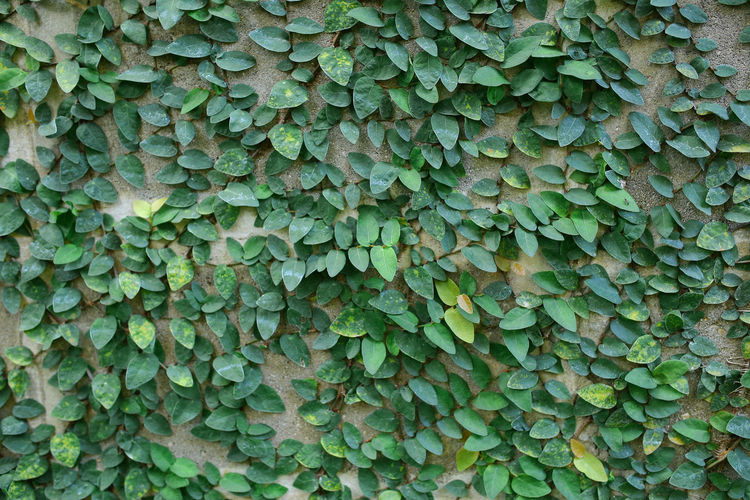 The Green Creeper Plant on a Wall concrete block Background. Backgrounds Beauty In Nature Close-up Freshness Full Frame Green Color Growth Leaf Nature Outdoors Plant Textured