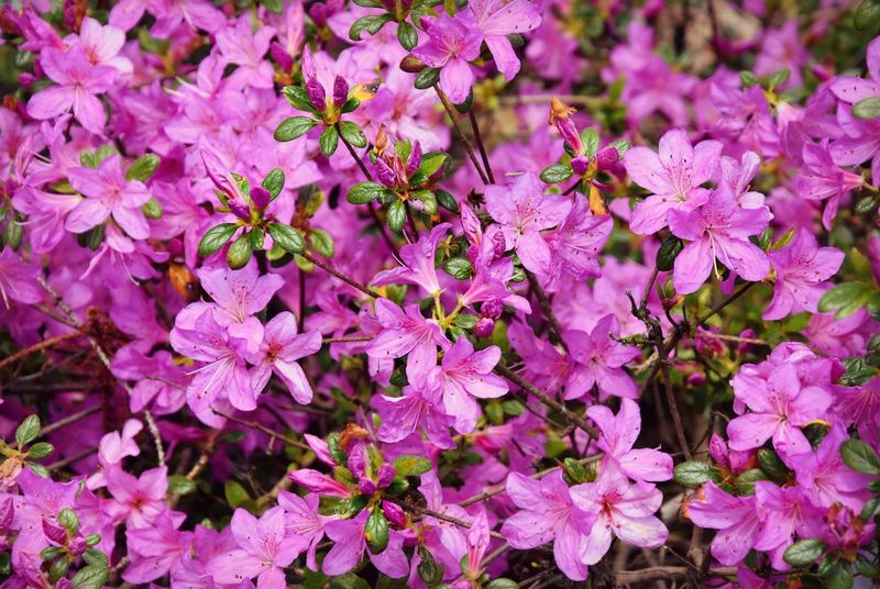 Beauty In Nature Blooming Close-up Day Flower Flower Head Fragility Freshness Growth Nature No People Outdoors Petal Pink Color Pinkpurple Plant