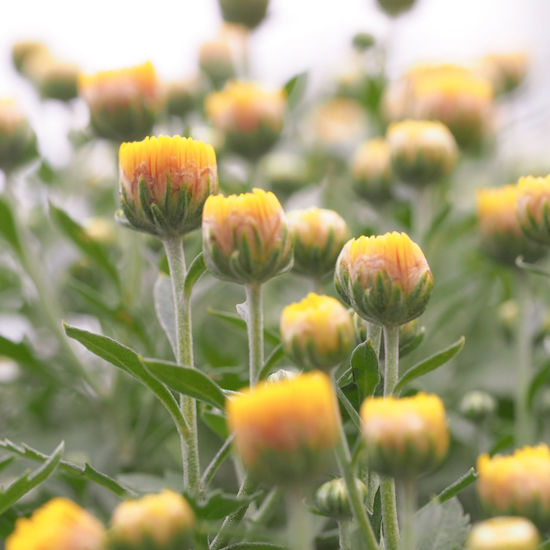 Nature Beauty In Nature Flower Plant Yellow Flower Head EyeEm Japan EyeEm Gallery Japan Photography 亀戸天神