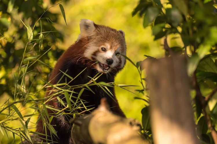 The elusive Red Panda | I've been to many zoos and wildlife parks and only ever saw the back end of a Red Panda dangling from the highest point of its tree! This is the first time one has shown its face and come down for a nosey 👌😍 One Animal Red Panda Mammal Animals In The Wild Animal Themes Leaf Animal Wildlife Nature Day Panda - Animal Outdoors Plant Tree No People Growth Panda Close-up EyeEm Selects EyeEmBestPics Zoo Animals  Zoology Wildlife & Nature Wildlife Photography A Day At The Zoo Cute