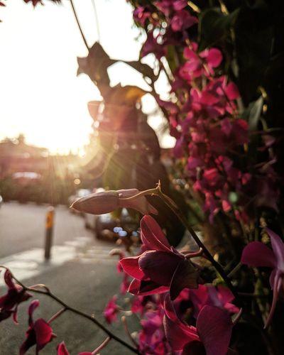 sunset flora