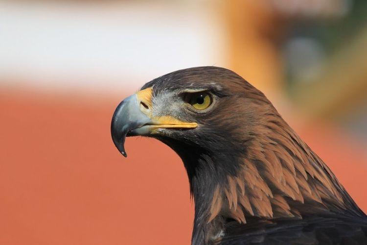Eagle Animal Bird Photography