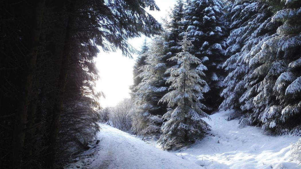 forêt enneigée Shades Of Winter Wonderful Beauty Snow Winter Cold Temperature Tree Nature No People Pine Tree Beauty In Nature Outdoors Day Forest Landscape Sky Weather Tranquility Tranquil Scene Scenics