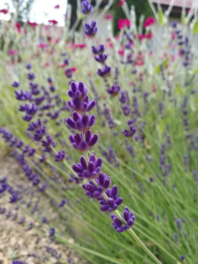 Nature Nature_collection Lavender Lavenderflower Lavender Colored Lavender Flowers Day No People Beauty In Nature Outdoors Lavenderlove