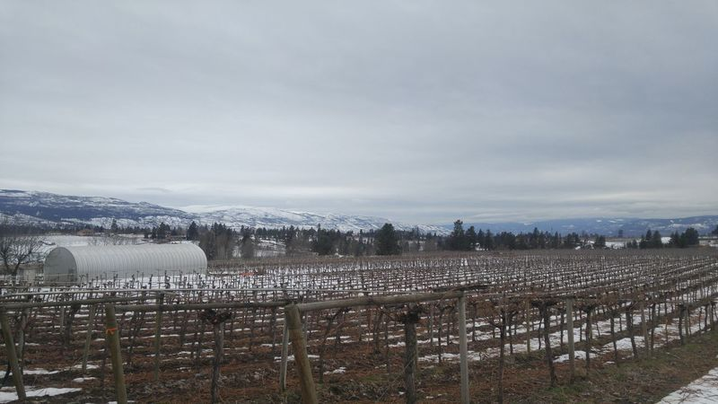 The feeling of satisfaction is 2500 trees at 100+ cuts per plant later. Feel like I could annihilate a walnut with my hands. Snow Outdoors Cold Temperature Day Sky No People Winter Nature Beauty In Nature Snowing Vineyard Okanagan Bc British Columbia Canada