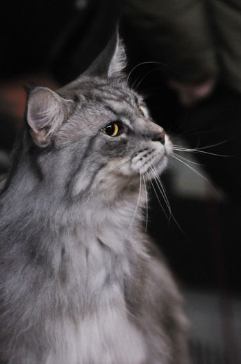 Close-up of maine coon cat